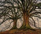 Rompicapo di Due vecchi alberi