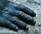 Una mano di gorilla
