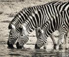 Tre zebre che bevono