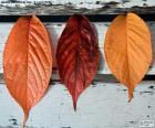 Tre foglie di autunno
