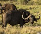 Bufalo nero