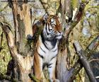 Tigre di controllare il suo territorio