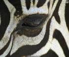 Eye Zebra