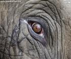 Occhio dell'elefante