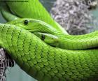 Mamba verde orientale