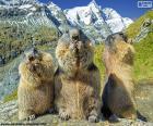 Rompicapo di Tre marmotta alpine