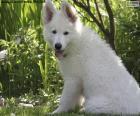 Cucciolo di pastore svizzero bianco