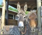 Teste d'asino e pony