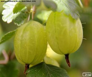 Rompicapo di Ribes bianco