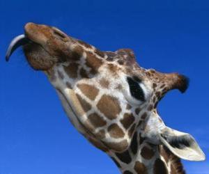 Rompicapo di Ritratto della testa di una giraffa bellissima