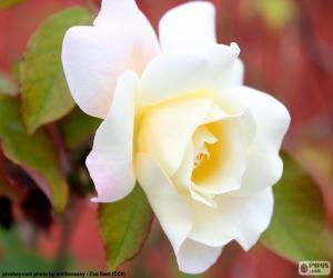 Rompicapo di Rosa bianca