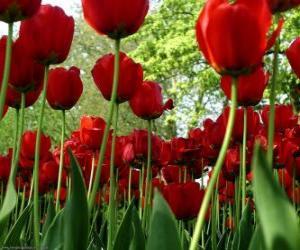 Rompicapo di Rossi tulipani