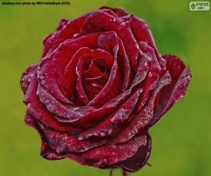 Rompicapo di Rosso rosa
