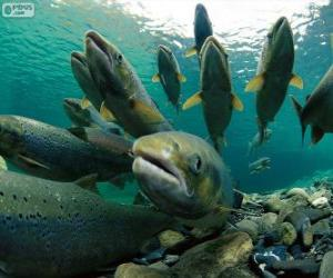 Puzzle di pesci e rompicapi for Pesci di fiume