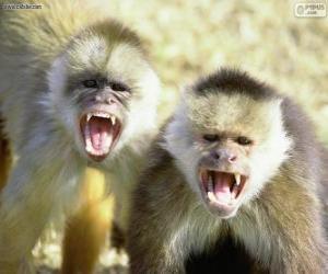 Rompicapo di Scimmie cappuccino