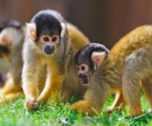 Rompicapo di Scimmie scoiattolo
