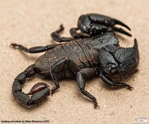 Rompicapo di Scorpione imperatore