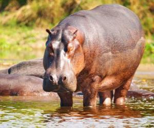 Rompicapo di Selvaggio ippopotamo