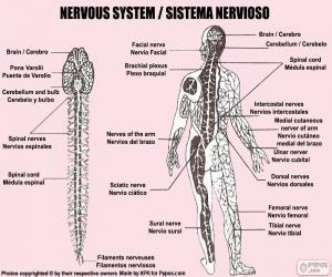 Rompicapo di Sistema nervoso
