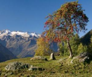 Rompicapo di Sorbus torminalis
