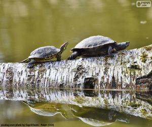 Rompicapo di Tartaruga palustre americana