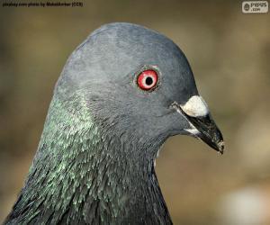 Rompicapo di Testa del piccione selvatico occidentale