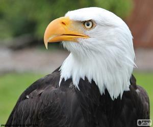 Rompicapo di Testa dell'Aquila calva