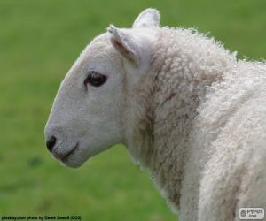 Rompicapo di Testa di pecora