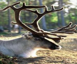 Rompicapo di Testa di renna