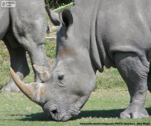 Rompicapo di Testa di rinoceronte