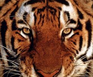 Rompicapo di Testa di tigre
