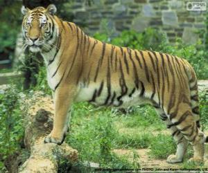 Rompicapo di Tigre adulte