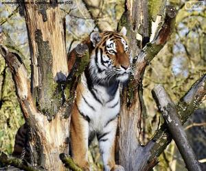 Rompicapo di Tigre di controllare il suo territorio