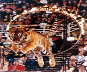Rompicapo di Tigre saltare all'interno di un cerchio di fuoco