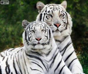 Rompicapo di Tigri bianche del Bengala