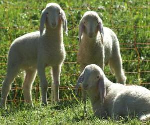 Rompicapo di Tre agnelli