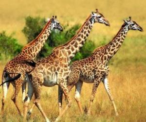 Rompicapo di Tre giraffe