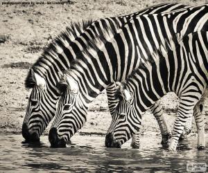 Rompicapo di Tre zebre che bevono