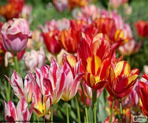 Rompicapo di Tulipani nella campagna