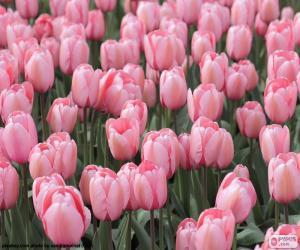 Rompicapo di Tulipani rosa