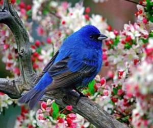 Rompicapo di Uccello azzurro