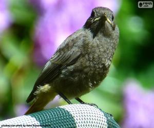 Rompicapo di Uccello nero