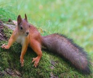 Rompicapo di Uno scoiattolo, animali roditori con una bella coda