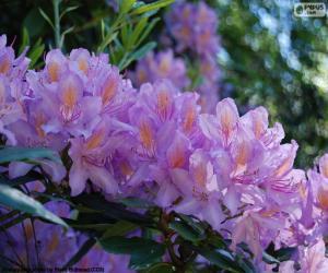 Rompicapo di Viola fiori di azalea