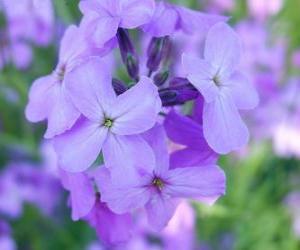 Rompicapo di Viole, una pianta ornamentale con fiore utilizzata nei giardini