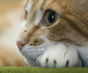 Rompicapo di Volto di gatto