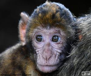 Rompicapo di Volto piccola scimmia