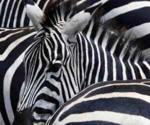 Rompicapo di Zebre